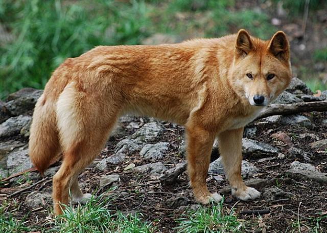 Dingo_RG